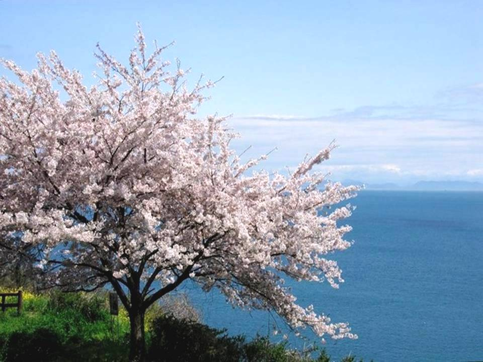 Japon en fleur au printemps. Un conseil : passez en plein écran, activez le défilement automatique (en haut à gauche) après avoir choisi la temporisation entre chaque diapo et activé le son si le lecteur figure en haut à droite